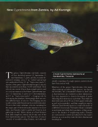 New Cyprichromis from Zambia