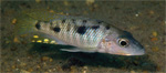 Two new species of Stigmatochromis described