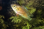 New paper published on the role of egg-spots in haplochromine cichlids