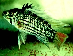 A new species of Apistogramma has been published