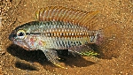 New Apistogramma species described, A. helkeri