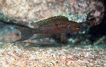 New description of Neolamprologus