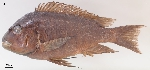 A new species of Petrochromis described