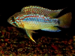 Apistogramma sp 'papagei' got an official name