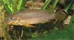 Revision of the Pelvicachromis taeniatus group
