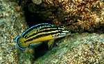 New species of Julidochromis described