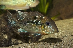 Geophagus sp. \'aripuanã' got a latin name