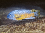 Two new species of Labeotropheus from Lake Malawi described