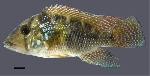 Three new species of <i>Geophagus</i> from eastern Brazil are described
