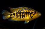 Nomenclature changes in two Central American cichlids