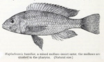 Labrochromis humilior