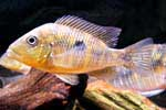 Gymnogeophagus sp. \'verna\'