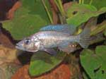 Haplochromis sp. \'silver stilleto\'