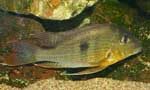 Geophagus sp. \'altamira\'