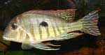 Geophagus sp. \'red head tapajos\' (1)