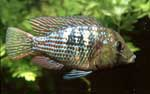 Gymnogeophagus sp. \'blue neon\'