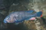 Astatotilapia sp. \'spot bar\'