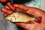 Harpagochromis squamipinnis