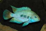 Amatitlania sp. \'honduras red point\'