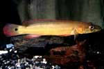 Crenicichla sp. \'tapajos red\'