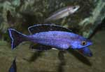 Cyprichromis sp. \'brilliant jumbo\'