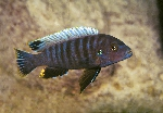 Pseudotropheus sp. \'aggressive grey\'