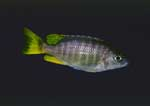 Copadichromis sp. \'taiwan yellow\'