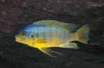 Petrotilapia sp. \'yellow chin\'