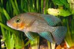 Geophagus sp. \'bahia red\'