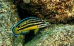 Julidochromis sp. \'regani kipili\'