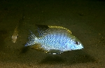 Tramitichromis sp. \'red gular\'