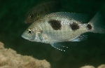 Protomelas sp. \'virgatus mumbo\'