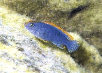 Pseudotropheus sp. \'perspicax orange cap\'
