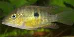 Gymnogeophagus sp. \'catalancito\'
