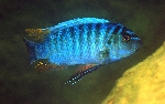 Labeotropheus artatorostris