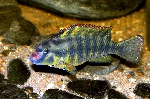 Orthochromis indermauri