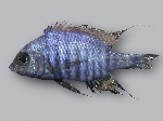 Aulonocara sp. \'blue chilumba\'